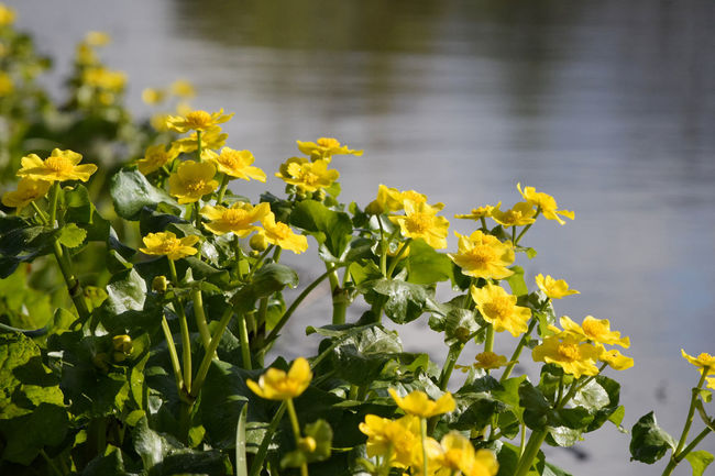 Yellow marsh marigold along creek in early morning light Beauty In Nature Blooming Close-up Day Flower Fragility Freshness Growth Marigold Marsh Marigold Nature No People Outdoors Petal Plant Yellow