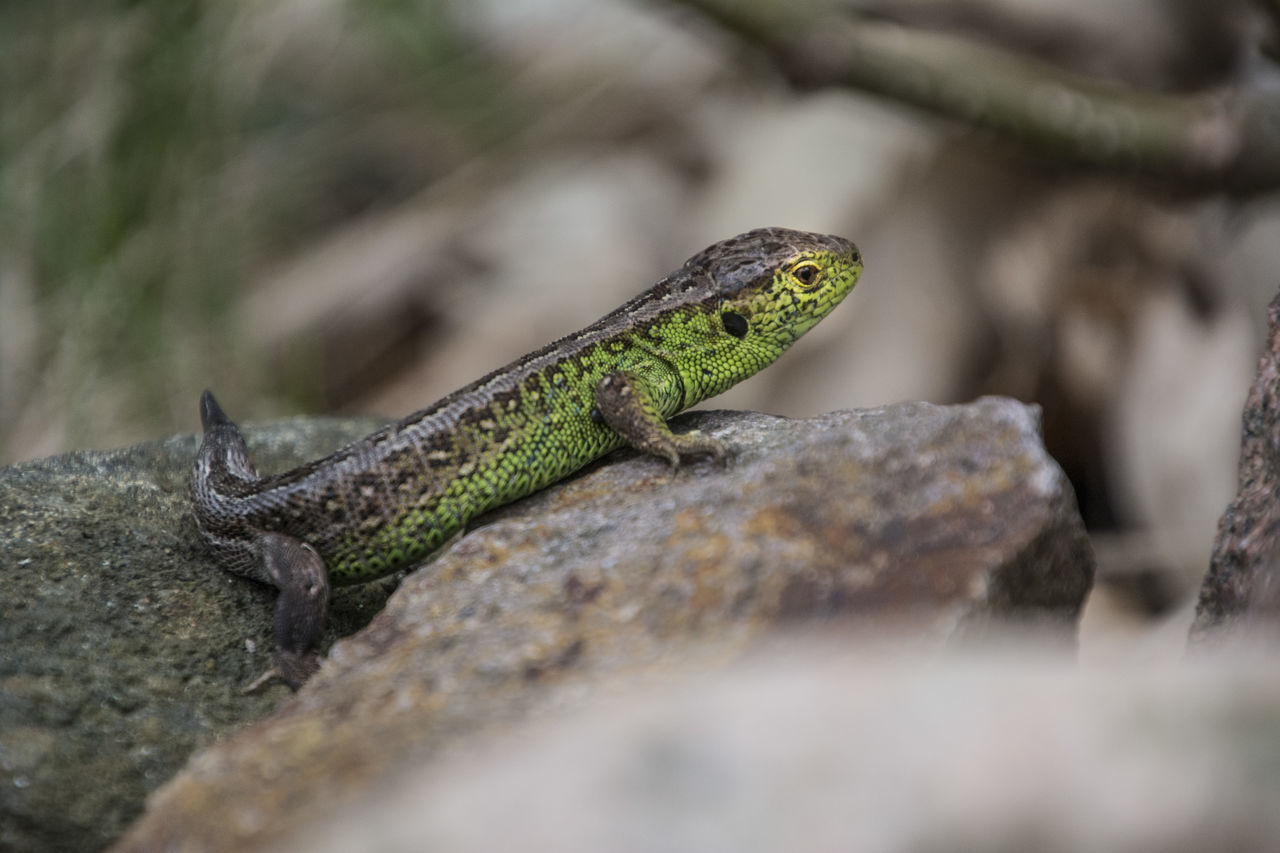 reptile, one animal, lizard, animal wildlife, animal themes, animals in the wild, selective focus, no people, nature, day, outdoors, close-up, iguana