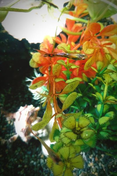 Small Fish Fish Bowl Aquarium Fish WaterPlant Nexus5x Look Down Guppy Fish
