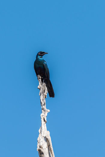 Low angle view of starling perching on branch