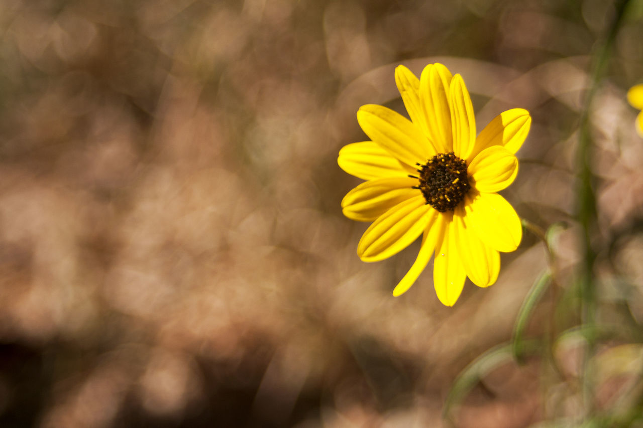 flower, yellow, petal, nature, fragility, freshness, beauty in nature, flower head, blooming, growth, no people, plant, outdoors, close-up, day