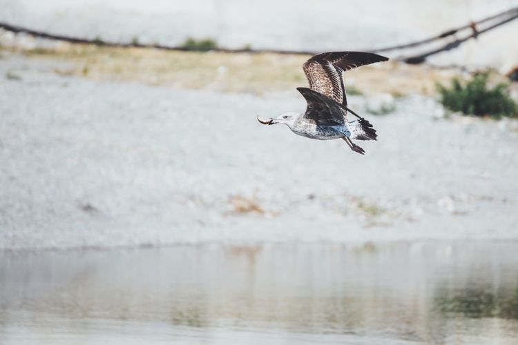 Seagull carrying prey in mouth over lake