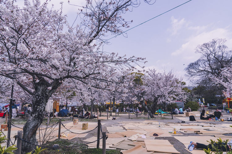View of cherry blossom in park