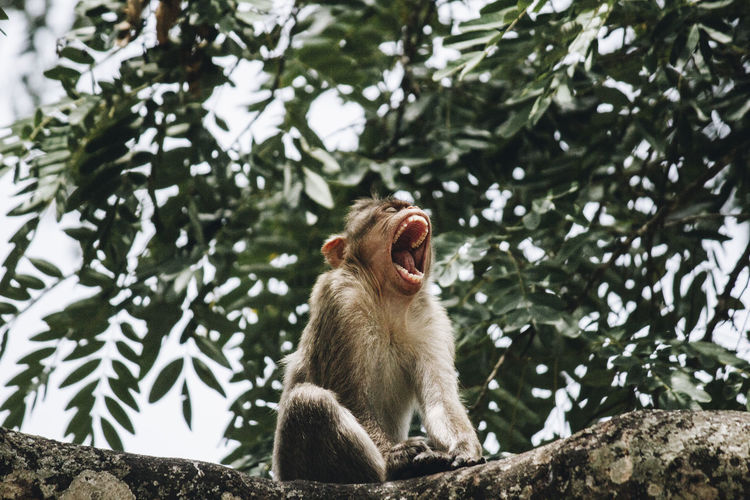 Monkey sotting and yawning on tree branch