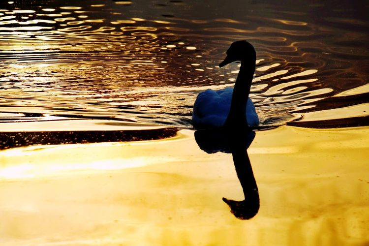 frozen world - the sunrise swan Sunrise Beauty In Nature Nature Photography Nature_collection Frozen Nature Cold Temperature Reinheimer Teich Cold Weather Gold Colored My Point Of View Full Length Water Silhouette Reflection Bird Swan Golden Scenics Tranquil Scene Tranquility Idyllic