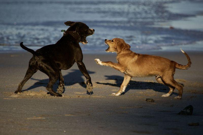 Animal Themes Mammal Animal Canine Dog Pets Group Of Animals Domestic Animals Domestic Two Animals Land Vertebrate Running Beach No People Side View Motion Sand Nature