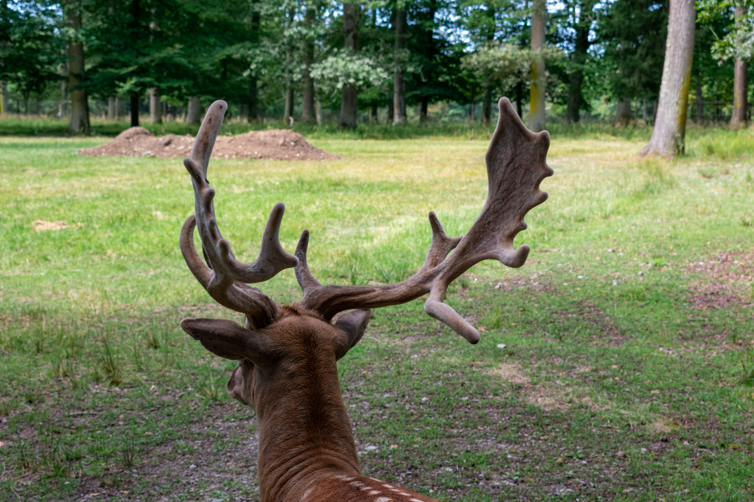 tree, plant, animal themes, animal wildlife, animal, antler, mammal, one animal, animals in the wild, deer, land, nature, day, no people, male animal, forest, grass, green color, animal body part, herbivorous, outdoors, animal head