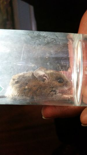 Field Mouse Mouse Catchandrelease Ohio, USA