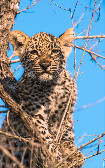 Leopard Sitting On Tree Against Sky