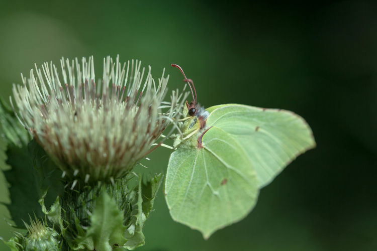 Animal Wildlife Animals In The Wild Beauty In Nature Close-up Day Deister Green Color Insect Leaf Nature No People One Animal Outdoors Schmetterling