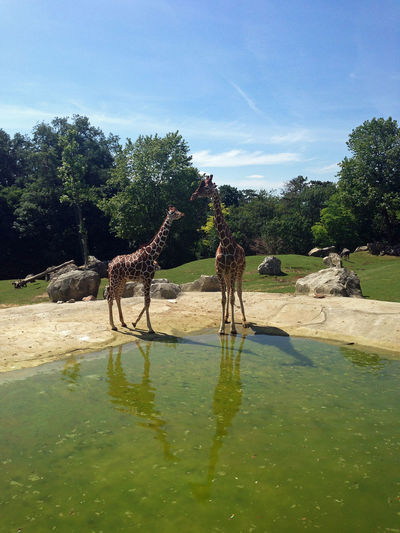 Two Giraffe Looking One To One Two Giraffes Looking One To One communicative girafes EyeEmNewHere Giraffe ♡ Giraffes! ZOO-PHOTO Animal Themes Giraffen Giraffes Reflection In The Water Zoo Animals  EyeEm Nature Lover Togetherness The Love Of A Girl Togetherness👫👭 Excellent Shot Fresh On Market Giraffe Life Two Giraffes @Ced_u26CC_BY_ND