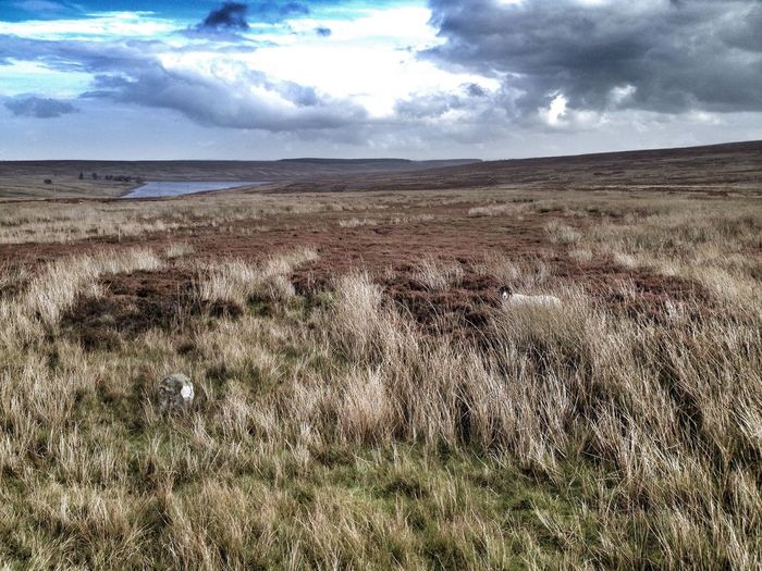 Moorland in County Durham, UK Landscape No People Moorland Moors Sheep England County Durham