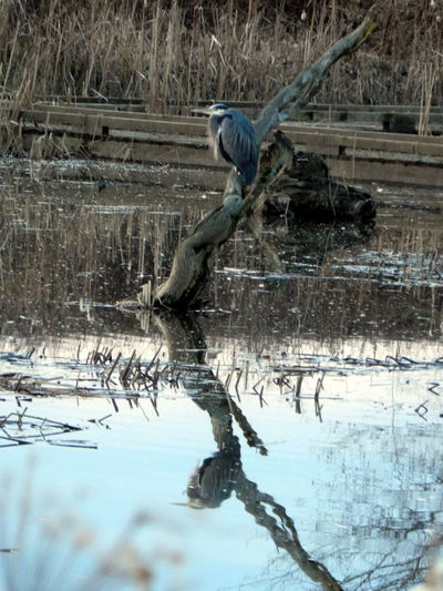 heron Animal Themes Animal Wildlife Animals In The Wild Beauty In Nature Bird Cold Temperature Day Gray Heron Nature No People One Animal Outdoors Water Winter