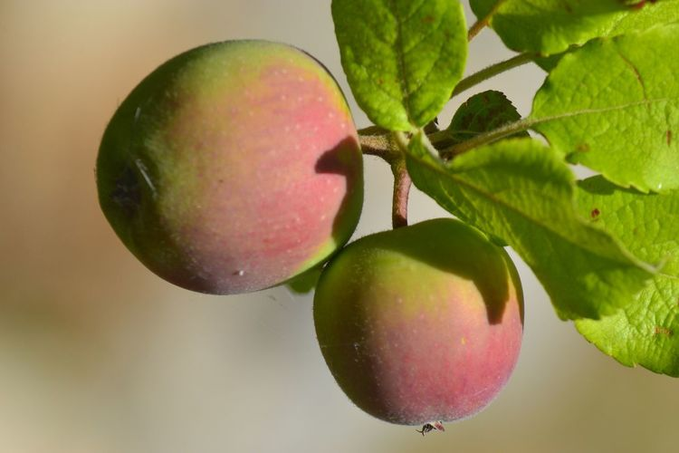 Fruit Healthy Eating Food And Drink Freshness Food Leaf Plant Part Plant Nature Close-up No People Growth Green Color Apple - Fruit Outdoors Day Apple Tree Focus On Foreground Tree Wellbeing