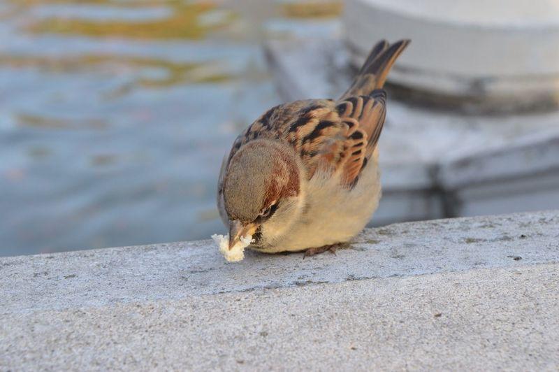 Close-up of sparrow feeding on retaining wall