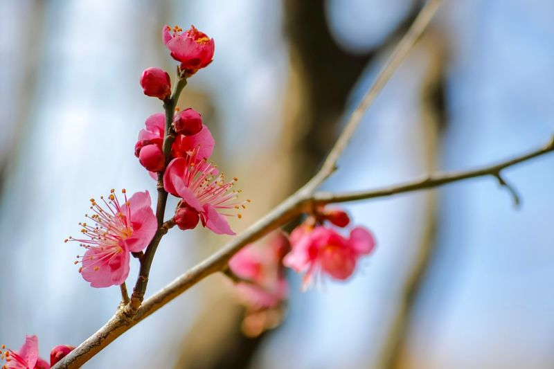 Plum Blossom Pink Color Flowers Flower Collection Flowerporn Nature EyeEm Nature Lover Nature_collection Nature Photography Taking Photos EyeEm Best Shots EyeEm Gallery From My Point Of View The Week on EyeEm Plant Growth Beauty In Nature Flower Close-up Flowering Plant Focus On Foreground Branch Freshness Nature Selective Focus Red Fragility