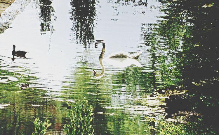 Torontoisland Swan Upsidedown