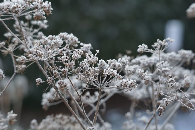 Cold Temperature Winter Snow Focus On Foreground Plant Close-up Frozen