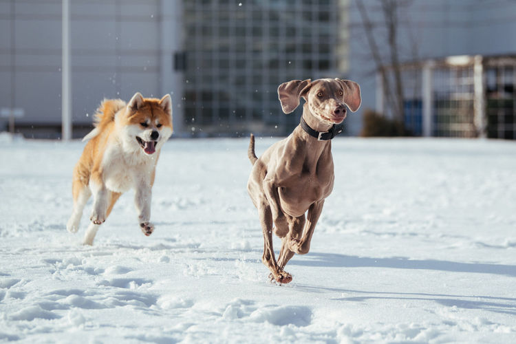 Dogs running on snow covered landscape