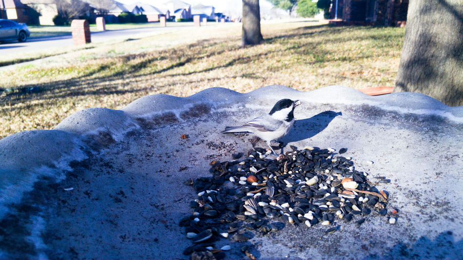 Tiny bird cooperated Tiny Bird Small And Swift Small Front Yard Birdseed Nature Upclose  Close Up Black Capped Chickadee