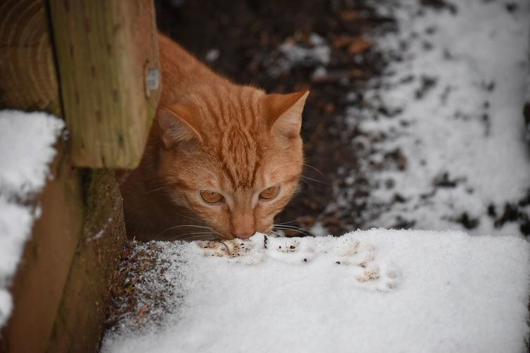 Domestic Cat Snow Winter Animal Themes Mammal Domestic Animals One Animal Cold Temperature Feline Pets No People Outdoors Day Close-up Nature Portrait Cat Cats Of EyeEm Pet Photography  Outdoor Photography Snow Photography Snow ❄ Winter Ginger Cat Curiosity