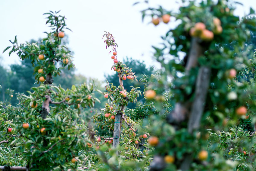 Apple Crop Autumn Mood Fruit Food Food And Drink Healthy Eating Freshness Day Wellbeing