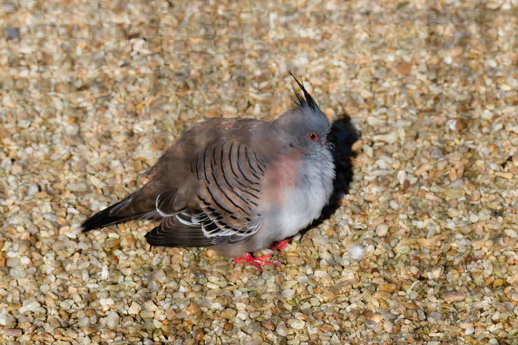 The crested pigeon (Ocyphaps lophotes) is a bird found widely throughout mainland Australia except for the far northern tropical areas. https://en.wikipedia.org/wiki/Crested_pigeon Bird Nature Close-up Animal Wildlife Pigeon Side View EyeEm EyeEm Nature Lover