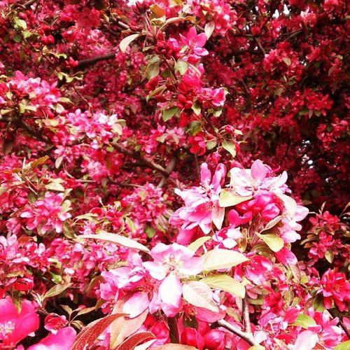 Malus Flowers Apple Japonelmas ı süselması elma çiçek Photo photooftheday XperiaZ pic landscape Nature Pink