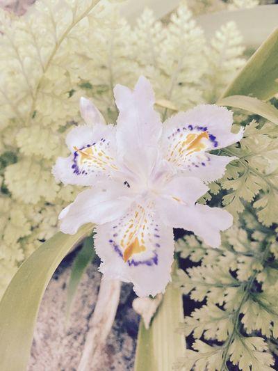 シャガ 自然 里山 田舎暮らし Fringed Iris Nature Countryside Flower Blossom Spring Taking Photos IPhoneography Enjoying Life