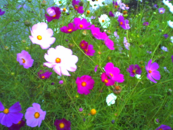 Japan Hokkaido DigitalHarinezumi Cosmos Flower Flower Plant Day Outdoors Grass No People