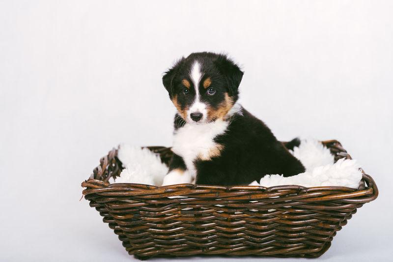 Portrait of dog in basket against white background