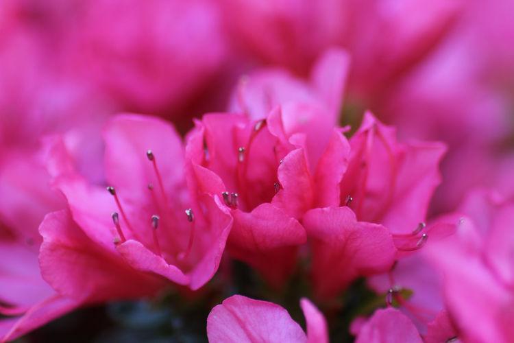 Close-up Azalea Pink Azalea Pink Flower Spring Flowers