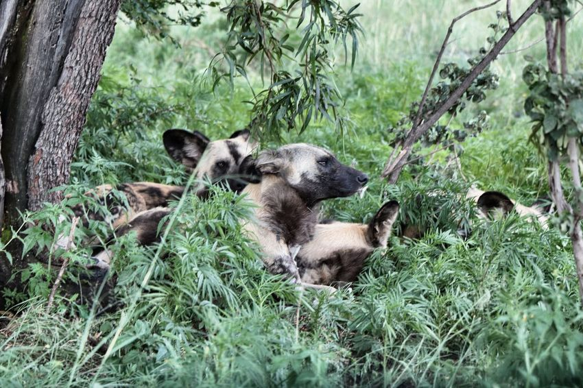 Animal Themes Nature South Africa Tree Wild Animal Wild Dog Wild Dogs Wildlife Photography