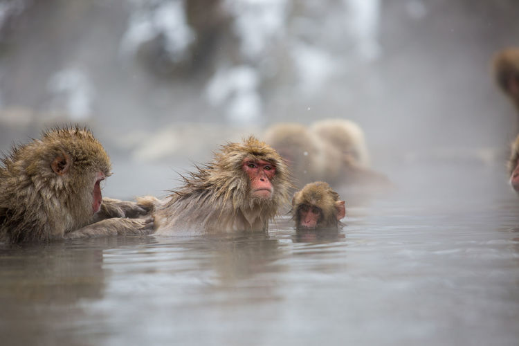 Animal Animal Body Part Animal Family Animal Head  Animal Themes Animal Wildlife Animals In The Wild Cold Temperature Day Group Of Animals Hot Spring Japanese Macaque Mammal Monkey Nature No People Primate Vertebrate Water Winter
