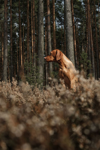 Vizsla Dog sitting an watching the scenery Low Angle View Sitting Sunny Vizsla Adorable Dog Animal Themes Beauty In Nature Day Dog Domestic Animals Forest Hunting Dog Magyar Vizsla Mammal Nature No People One Animal Outdoors Pets Portrait Tree Tree Trunk WoodLand