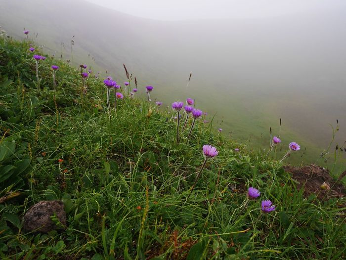Purple flowers blooming on grassy hill during foggy weather
