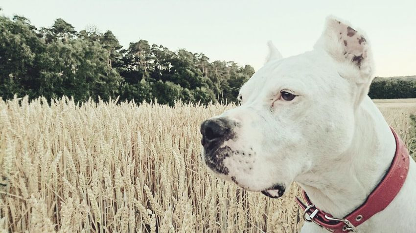 Fox: Dogo Argentiono Domestic Animals One Animal Looking Away Close-up Field Dog Pets Livestock Dogo Argentino