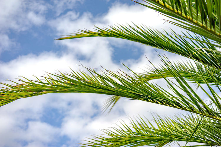 Sommer Sonne Hitze Ferien Palmen Himmel Wolken Plant Growth Palm Leaf Green Color Palm Tree Leaf Cloud - Sky Tree Nature Sky Tropical Climate Beauty In Nature No People Tranquility Day Outdoors Low Angle View Close-up Plant Part Sunlight