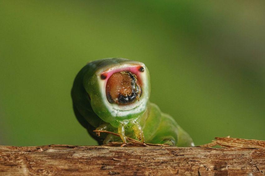 Caterpillar, green Arpia Bruco Arpia Verme Bruco Caterpillars🐛🐛clinging Caterpillar Caterpillar Close-up Caterpillar Photography Verde Green Garden Bird Perching Reptile Close-up Green Color Animal Eye