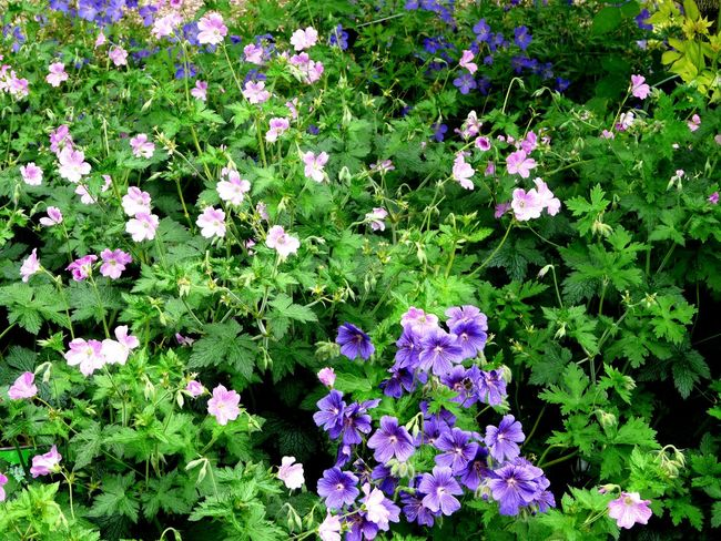 Nature On Your Doorstep Relaxing Taking Photos Summer Memories 🌄 Geraniums Pinks And Purples
