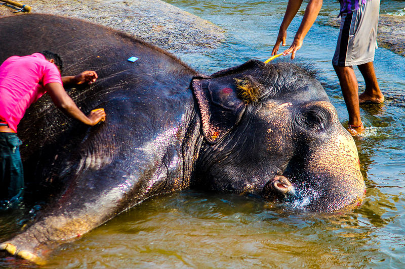 Elephant being bathed in water
