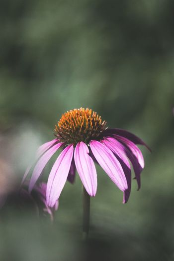 EyeEm Selects Flowering Plant Flower Beauty In Nature Plant Coneflower Fragility Nature Petal Vulnerability