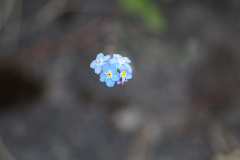 Beauty In Nature Blue Flower Flower Head Fragility No People Selective Focus Stem
