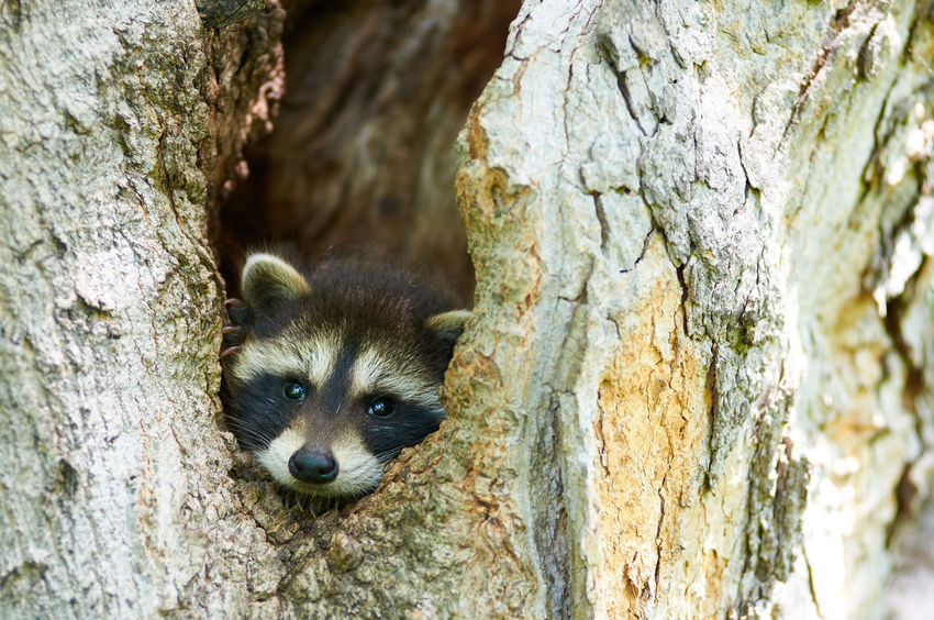 I See You! Close-up Nature Outdoors Racoon Racoon Eyes Selective Focus Tree Trunk Wildlife