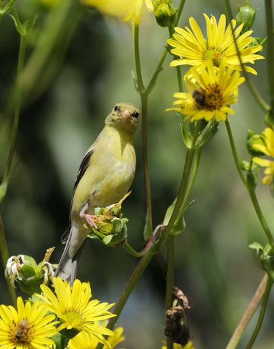 Close-up of bird perching on yellow flower
