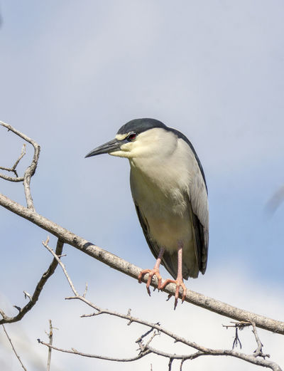 Low angle view of black-crowned night heron perching on branch