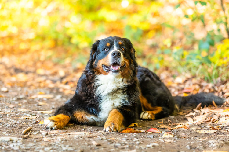 Portrait of dog sitting on autumn leaves