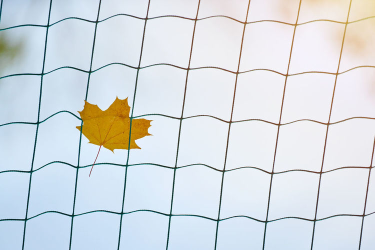 Low angle view of yellow maple leaf on metal fence