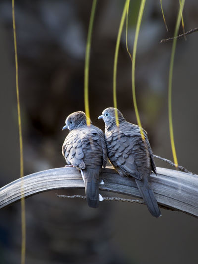 Pair of pigeons Bird Animal Wildlife Vertebrate Animal Group Of Animals Animal Themes Animals In The Wild Perching Focus On Foreground Two Animals No People Day Branch Close-up Outdoors Tree Nature Parrot Togetherness Plant Animal Family