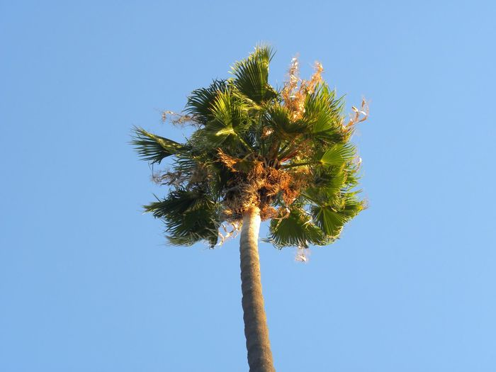 Taking Photos Palm Tree Sun & Trees Daytime Trees No People, Outdoors Nature Trees And Sky Color Photography Sky Blue Sky Blue Green